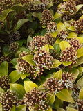 Skimmia Japonica Royalty-vrije Stock Afbeelding