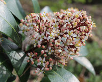 Skimmia japonica in bloom stock images