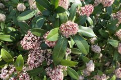 Skimmia japonica bush in bloom. During spring time royalty free stock images
