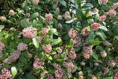 Skimmia japonica bush in bloom. During spring time stock photography