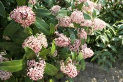 Skimmia japonica bush in bloom. During spring time royalty free stock photography