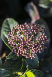 Skimmia Japonica Royalty Free Stock Images
