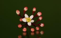 Skimmia japonica 'Rubella' Stock Images