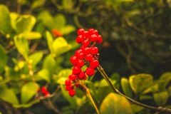 Skimmia japonica shrub with rough leaves and red berries. Japanese sorbus. Skimmia japonica shrub with leaves and red berries. Japanese sorbus royalty free stock photography