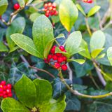 Skimmia japonica shrub with rough leaves and red berries. Japanese sorbus. Skimmia japonica shrub with leaves and red berries. Japanese sorbus royalty free stock image