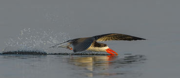 Skimming. African Skimmer fishing in the Chobe River Royalty Free Stock Photos
