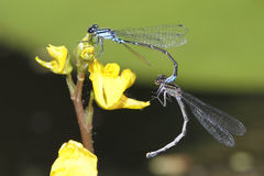Skimming Bluet Damselflies Mating. Skimming Bluet Damselfly (Enellagma geminatum) Mating on a Bladderwort Flower - Grand Bend, Ontario Royalty Free Stock Image