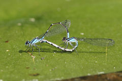 Skimming Bluet Damselflies Mating Royalty Free Stock Photos