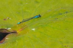 Skimming Bluet Damselfly - Enallagma geminatum. Male Skimming Bluet Damselfly perched on a lily pad. Don Valley Brickworks Park, Toronto, Ontario, Canada royalty free stock photos