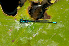 Skimming Bluet Royalty Free Stock Image