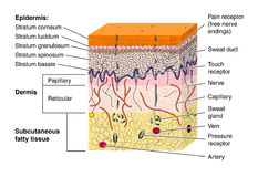 Skin. Cross section of skin showing the various layers and structural elements and a variety of nerve endings Stock Photos