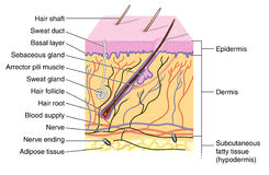 Skin. Cross section of skin showing the various layers and structural elements Royalty Free Stock Photo