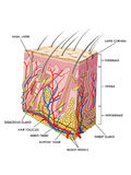 Skin. Medical illustration of the section of skin Royalty Free Stock Photo