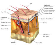 Skin 3D. 3-dimentional image of the skin, showing all major layers and appendages Royalty Free Stock Photo