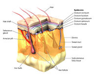 Skin 3D cut away. 3-dimentional image of the skin, with the epidermal layers cut away Stock Image