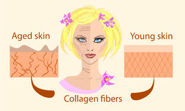 Skin aging diagrams. young skin is firm tight, its collagen Vector illustration with a face and two types of skin Stock Photos