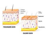 Skin aging. Visual representation of skin changes over a lifetime. Collagen and elastin form the structure of the dermis making it tight and plump. Fibroblasts Royalty Free Stock Images