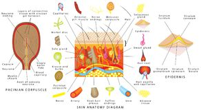 Skin anatomy diagram. Sensory receptors in skin. Human skin detailed diagram. Skin structure components vector illustration