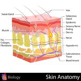 Skin Anatomy. Easy to edit  illustration of Skin Anatomy diagram Royalty Free Stock Images