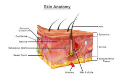 Skin Anatomy. The skin is the largest organ of the body, with a total area of about 20 square feet. The skin protects us from microbes and the elements, helps Stock Photography