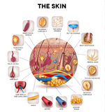 The skin. Skin anatomy in the round shape, detailed illustration. Beautiful bright colors stock illustration
