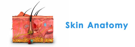 Skin Anatomy Royalty Free Stock Photos