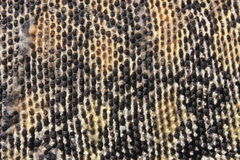 Skin of Australian Sand Monitor (Varanus gouldii) Stock Photo