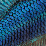 Skin of a blue Siamese fighting fish Stock Photos
