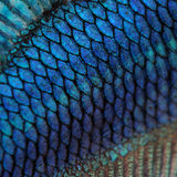 Skin of a blue Siamese fighting fish Royalty Free Stock Photos