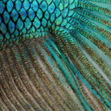 Skin of a blue Siamese fighting fish Stock Photo