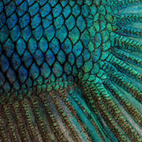 Skin of a blue Siamese fighting fish Stock Photography