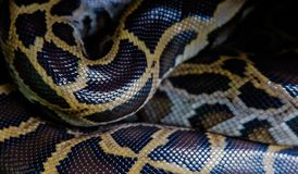 Skin of Burmese python,Python bivittatus,IUCN Red List Data Vulnerable. With copy space , focus only Skin stock image