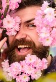 Skin care and hair care concept. Bearded male face peeking out of bloom of sakura. Hipster with sakura blossom in beard. Man with beard and mustache on happy Stock Images