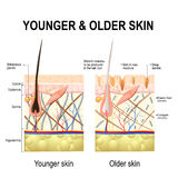 Skin changes or ageing skin. Human skin changes or ageing skin. A diagram of younger and older skin showing the decrease in collagen fibers, atrophy and broken Royalty Free Stock Image