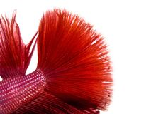 Skin Close-up texture siamese fighting fish Royalty Free Stock Photography