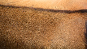 Skin of common eland. Also known as the southern eland or eland antelope is a savannah and plains antelope found in East and Southern Africa. It is a species of Stock Photo