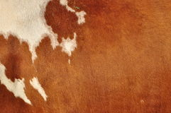Skin of a cow stock images