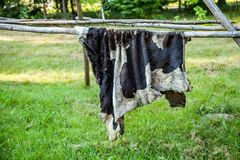 Cow hide, bull, Drying cow hides in nature. The skin of a cow, a bull is dried in nature stock photos