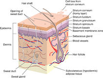 Skin cross section. Cross section of skin showing all layers and major appendages Royalty Free Stock Photo