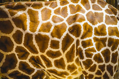 Skin detail, beautiful giraffe in a zoo park Stock Image