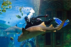 The skin-diver feeds a shark Royalty Free Stock Image