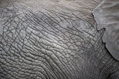 The skin of an elephant, elephant's ear. Royalty Free Stock Photo