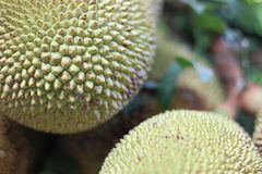 Skin  fruit  jackfruit background. Stock Photos