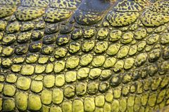 Skin of the gavial Royalty Free Stock Images