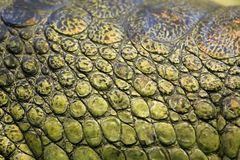 Skin of the gavial Royalty Free Stock Photos