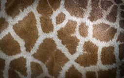 Skin of giraffe Royalty Free Stock Photo
