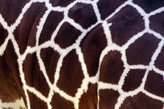 Skin of a giraffe Royalty Free Stock Images