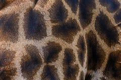 Skin of Giraffe. Genuine leather skin of Giraffe,Animal skin Stock Images