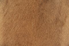 Skin of Goat. Close-up View of the Skin of African Goat Stock Image