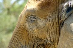 Skin on the head of an African elephant. Skin folds on the head of an African elephant. Gray skin. Close-up. Skin texture. The eye of an elephant royalty free stock images